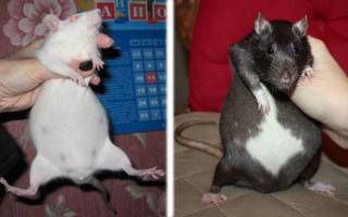 Выкидыш у крысы